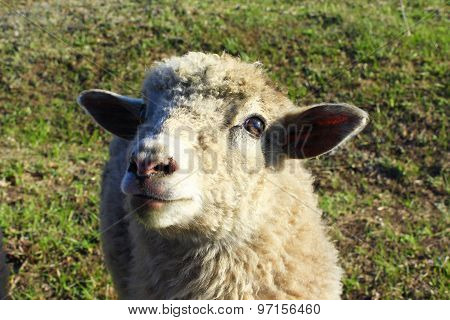 Close Up Of Sheep On The Grass