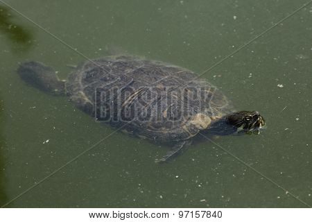 Red-eared slider (Trachemys scripta elegans) swimming. Wild life animal.
