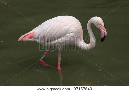 Greater Flamingo (Phoenicopterus roseus). Wild life animal.