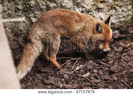 Red fox (Vulpes vulpes). Wild life animal.