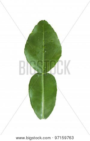 Fresh kaffir lime leaf