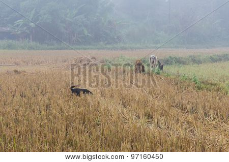 Dog With Cow In Field, Thailand Asia