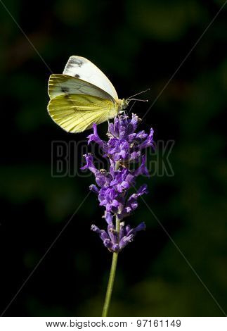 Colias hyale or Pale Clouded Yellow butterfly on lavender blossom