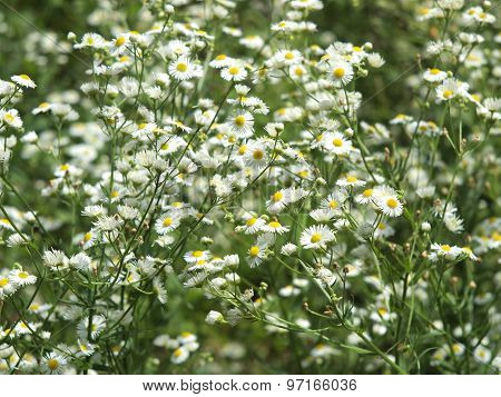 Herbs On The Lawn - Camomile Flowers