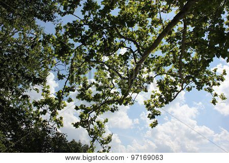 Sycamore Tree leaves in summer with beautiful blue sky and White Clouds