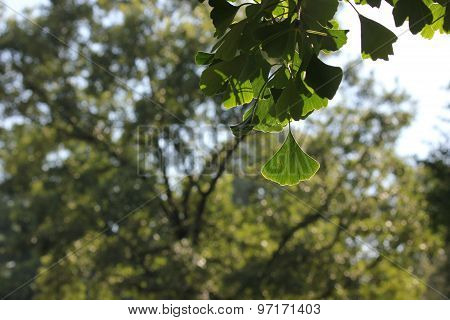 Ginkgo Tree Leaves with summer time sun casting shadows