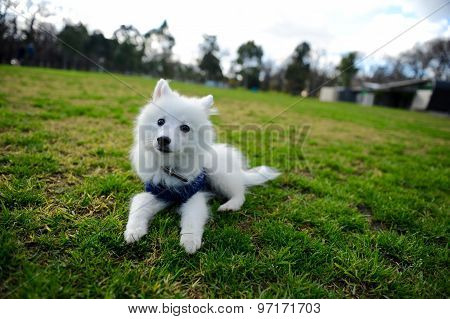One cute little Japanese spitz puppy lay on grass