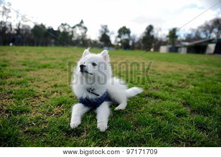 One cute Japanese Spitz puppy lay on grass