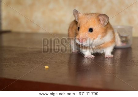 Hamster and small grain