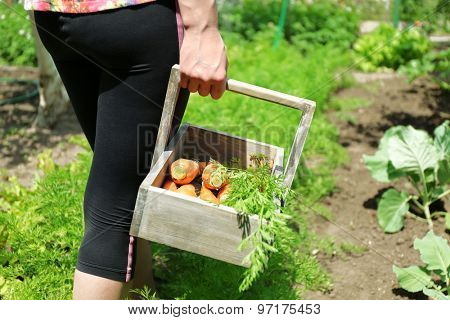Female hands with wooden basket of new fresh carrots in garden