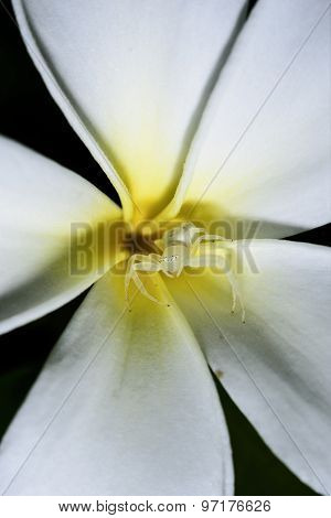 white Spider Macro