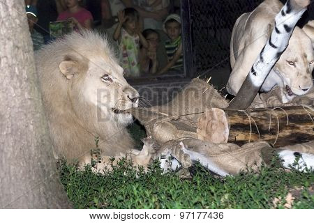 White Lion Maul A Fake Zebra