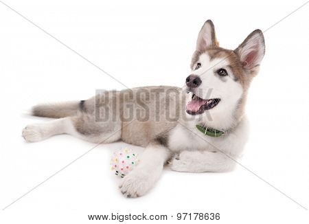 Cute Malamute puppy playing with rubber ball isolated on white