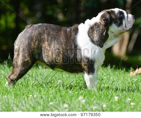 beautiful english bulldog standing outside in the grass