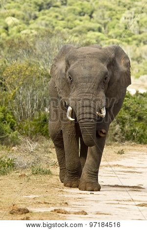 African Elephant Walking On A Gravel Road