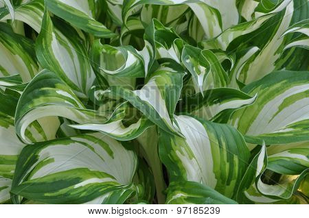 Leaves of hostas plant
