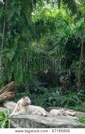 White Tigers in the Forest