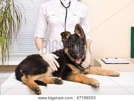 German shepherd puppy at the vet