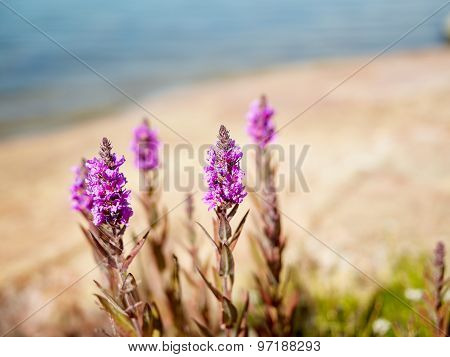 Purple Loosestrife - Copy Space