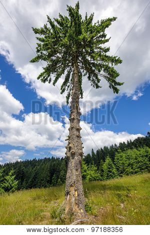 Secular Fir Tree On Mountains