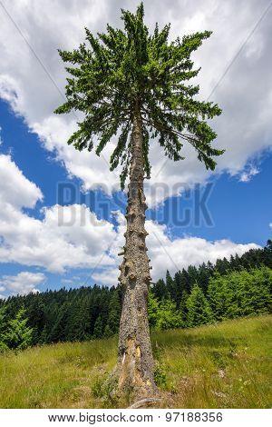 Secular Fir Tree On Mountains