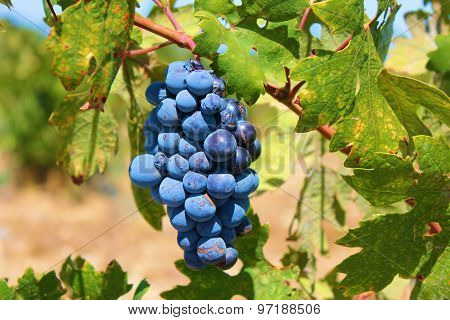 Winery Red Grapes