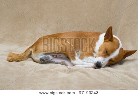 Basenji dog sleeping on a sofa