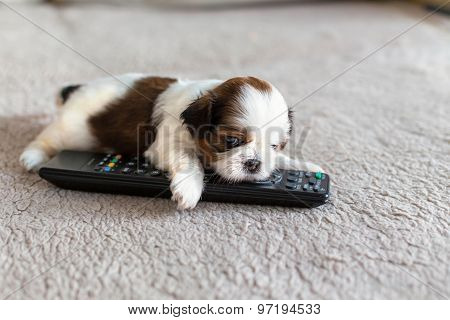 Little White Colored Shih-tzu Puppy With Remote