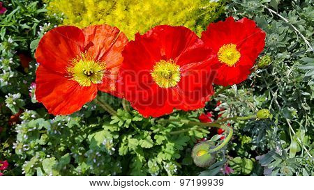 Beautiful Red Blooming Poppies