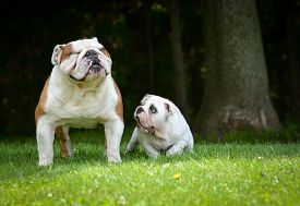 picture of bulldog  - puppy and adult dog playing outside  - JPG