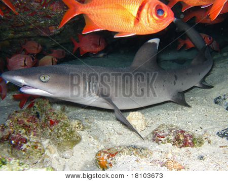 Whitetip in a cave