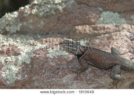 Arizona Spiny Lizard