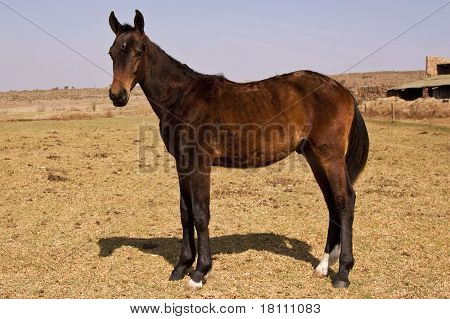 Black and brown horse standing