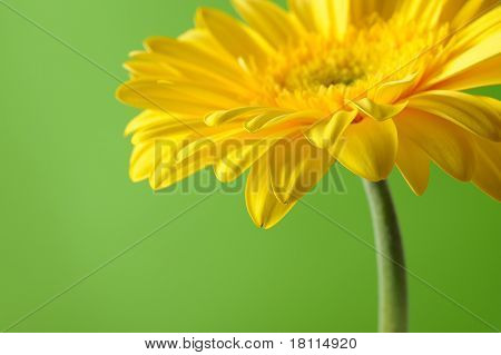 Delicate Background With Beautiful Yellow Gerber Flower