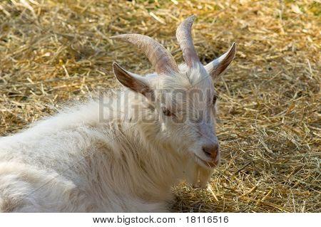 White Horny Goat