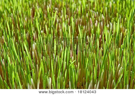 Background Of The Young Green Grass Of Wheat