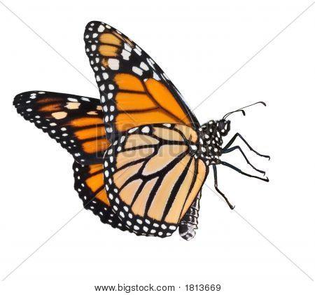 Flying Monarch