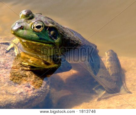 Green Frog Profile