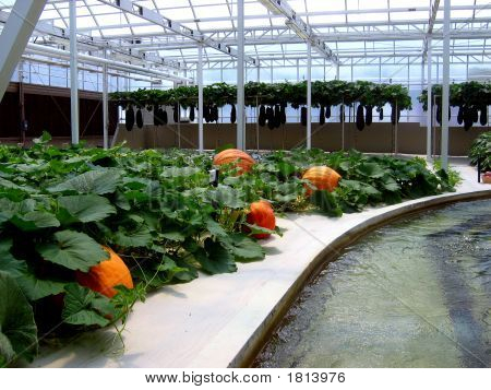 Giant Pumpkins In Biosphere
