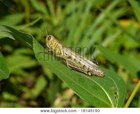 Grasshopper Sitting On A Leaf In The Summer Sun