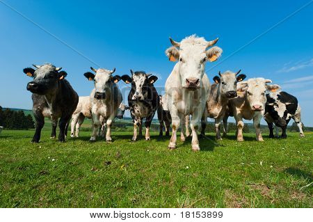 Cows On On Farmland In The Ardennes