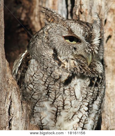 gray screech owl in tree