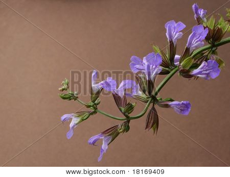 Spring flowering sage