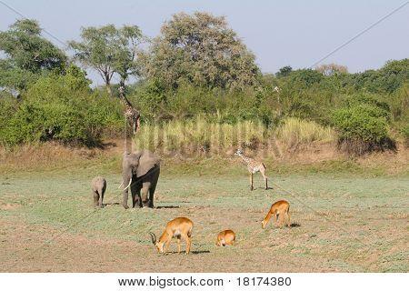 African Harmony