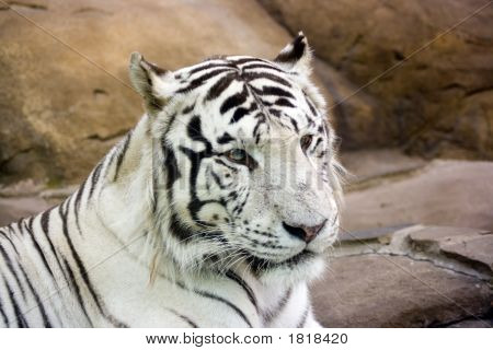 White Tiger With Green Eyes