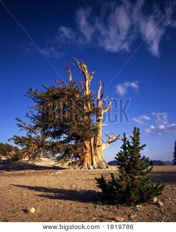 Bristle Cone Pine Trees