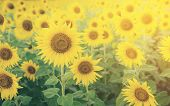 Sunflowers In Sunflower Field, Selective Focus poster
