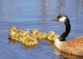 picture of mother goose  - Canada goose goslings swimming in a pond with the mother behind them - JPG