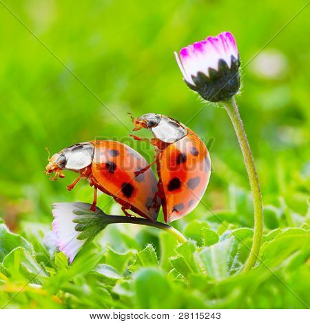 Funny picture of love-making ladybugs couple on a daisy flower. Love metaphor.