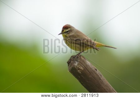 Perching Bird